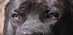 Presa Canario Light Eyes